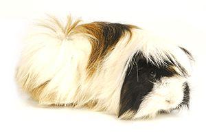 porcellino d'india-peruviano