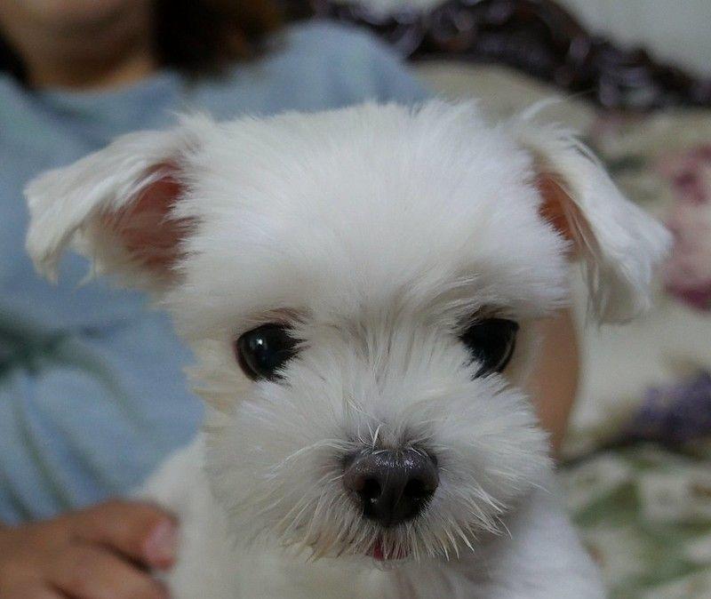 Cane maltese cucciolo