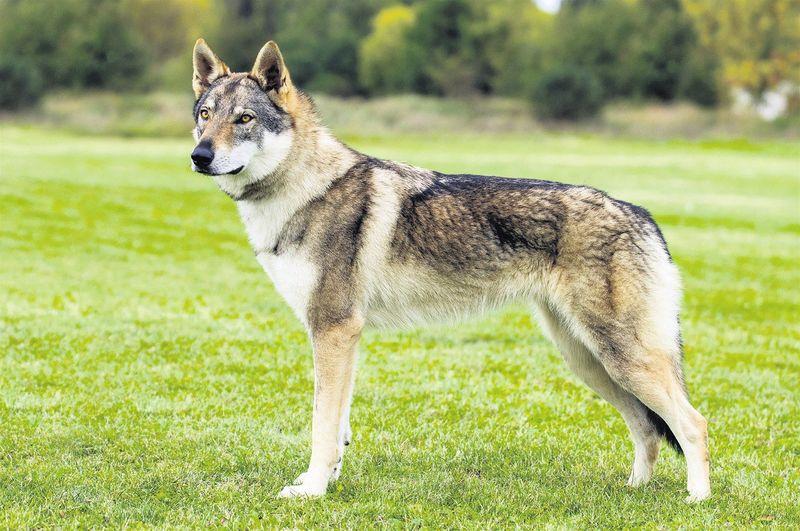 Cane lupo cecoslovacco struttura fisica