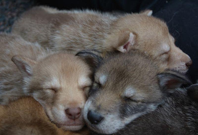 07a Cane lupo cecoslovacco cuccioli
