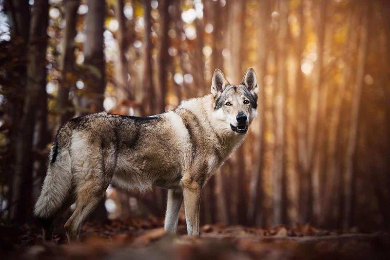 09 Cane lupo cecoslovacco