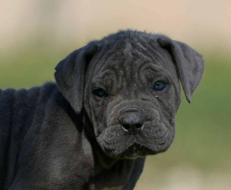cucciolo-cane-molosso