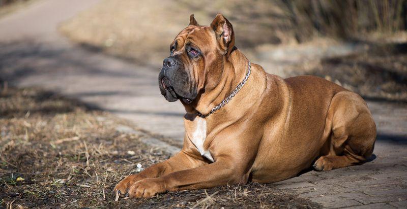 cane-corso-brown