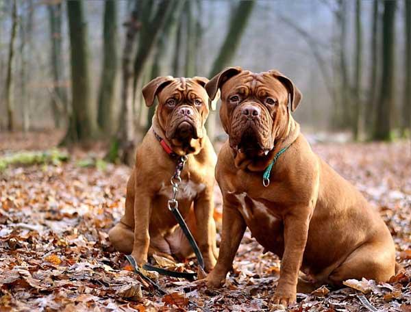 cane Dog de Bordeaux