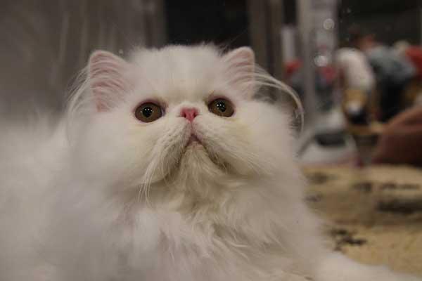 01 gatto persiano bianco