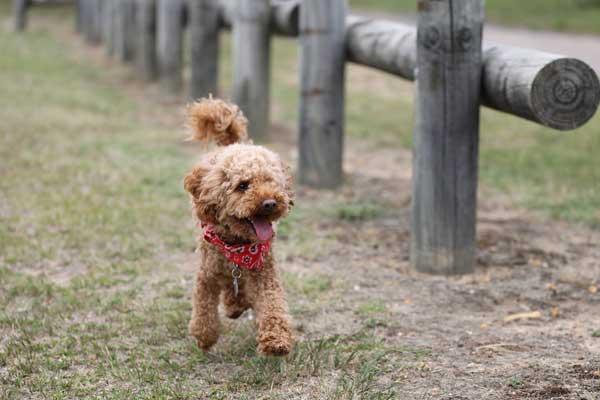 barboncino poodle mentre corre