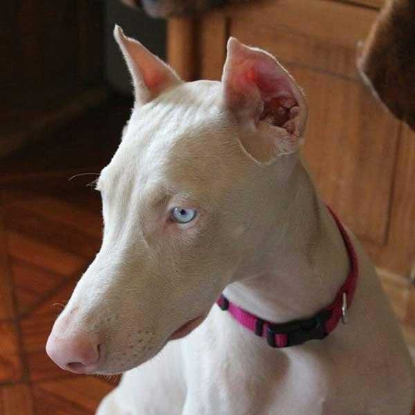 dobermann albino primo piano