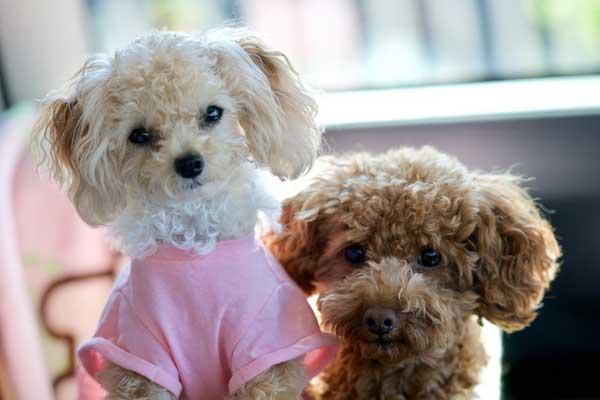 barboncini poodle coppia