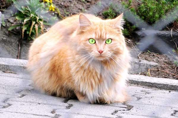 foto gatto-persiano-normotipo