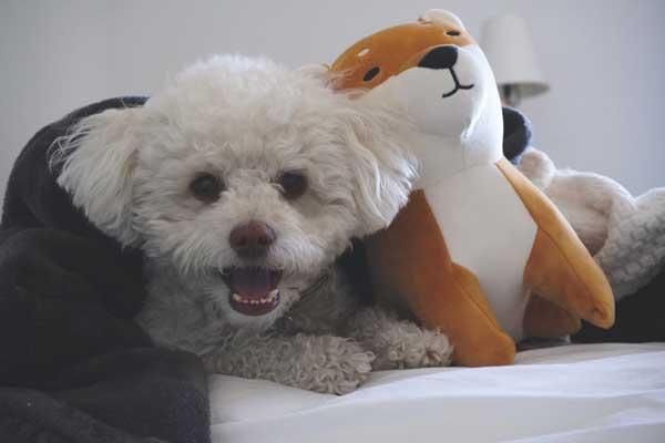 barboncino poodle bianco con giochi