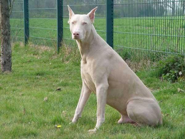 dobermann albino figura intera