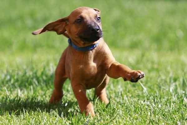 Cane Rhodesian Ridgeback cucciolo che corre