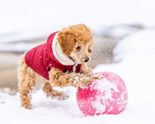barboncino poodle marrone sulla neve