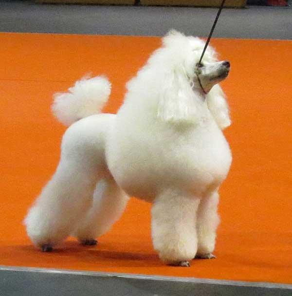 barboncino poodle concorso bellezza
