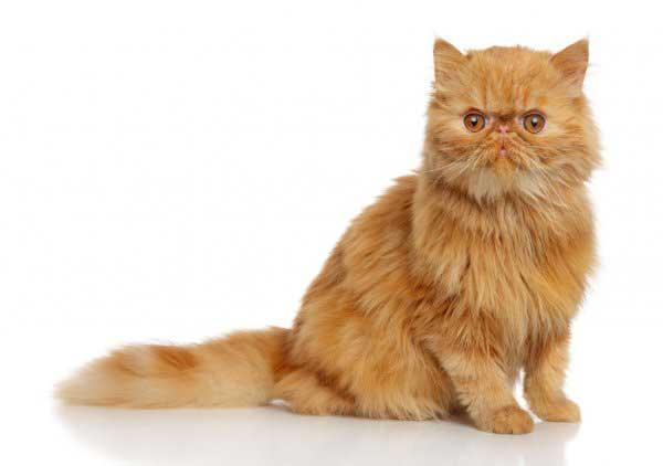 gatto-persiano-cucciolo-rosso