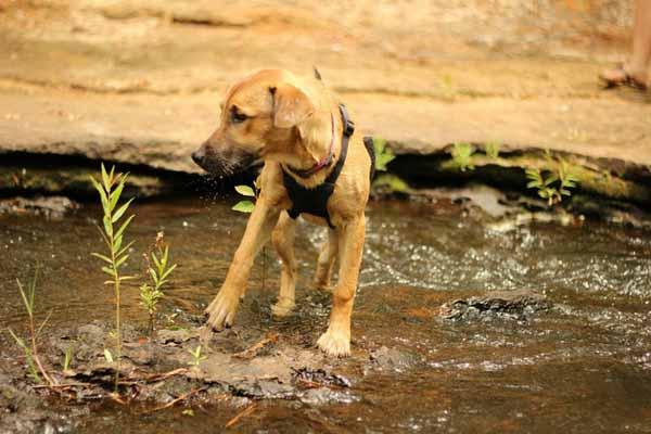 Rhodesian-Ridgeback cucciolo