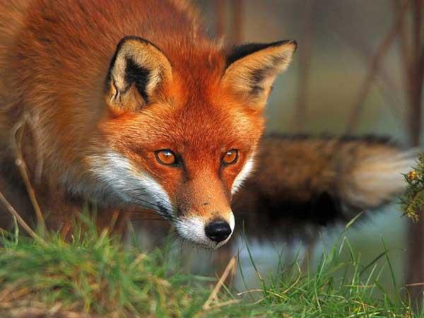 volpe rossa sguardo