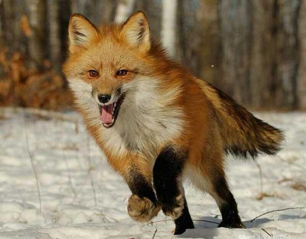 volpe rossa che corre