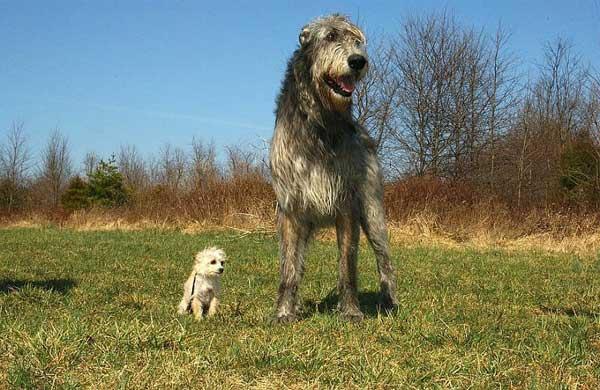 Levriero irlandese confronto con cane piccolo