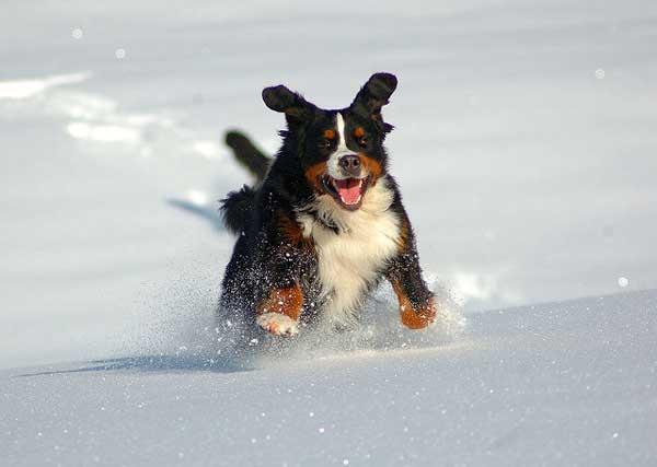 Bovaro del bernese che corre sulla neve