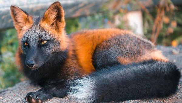 volpe rossa e nera