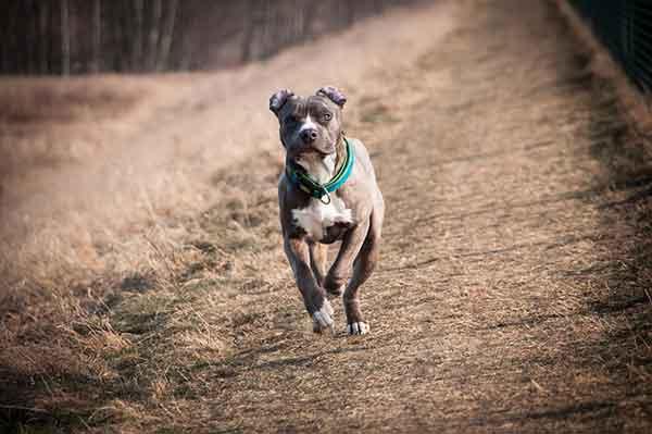 American pitbull terrier che corre
