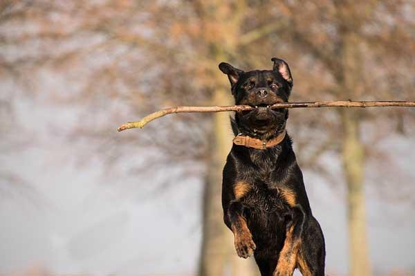 rottweiler in corsa con bastone