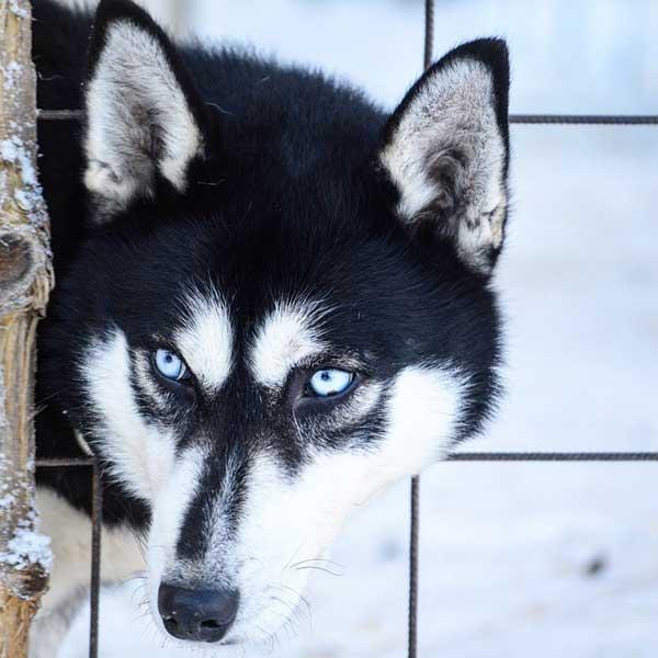 siberian husky occhi azzurri
