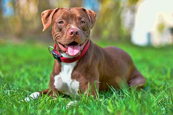 American pitbull terrier seduto