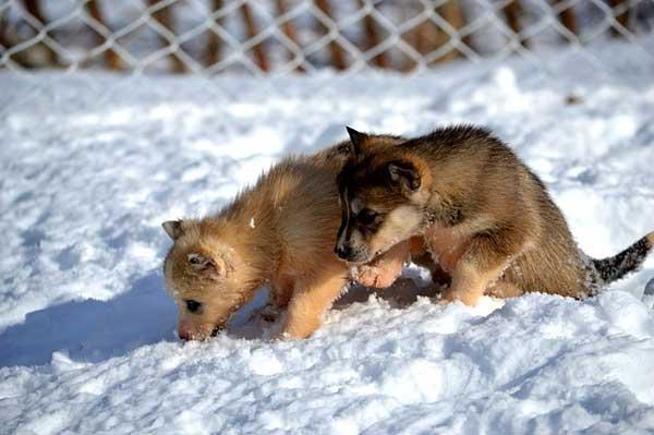 siberian husky cuccioli sulla neve