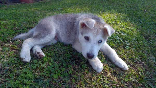 siberian husky cuciolo occhio azzurro e marrone
