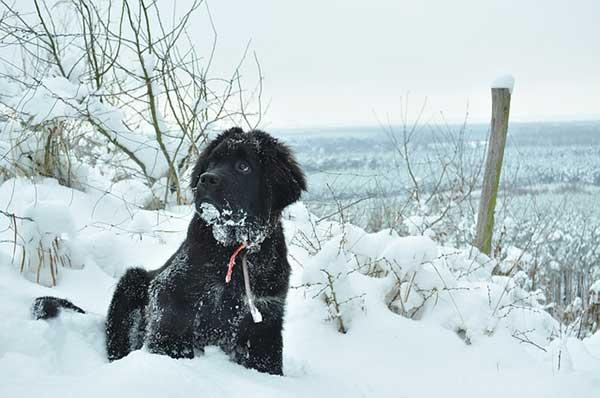 cane terranova sulla neve