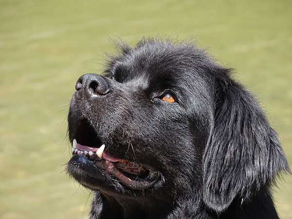 cane terranova testa