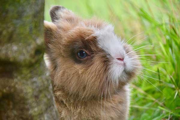 muso coniglio nano