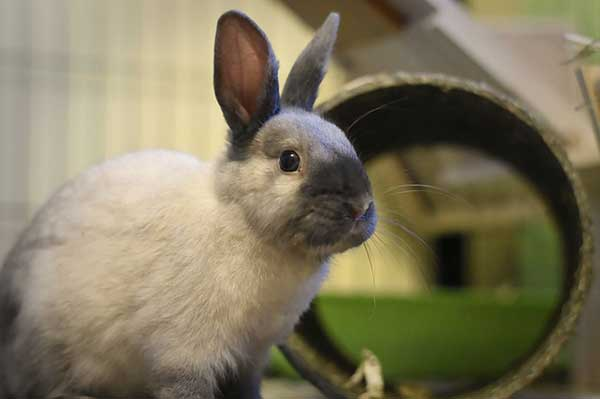 coniglio nano bianco nero