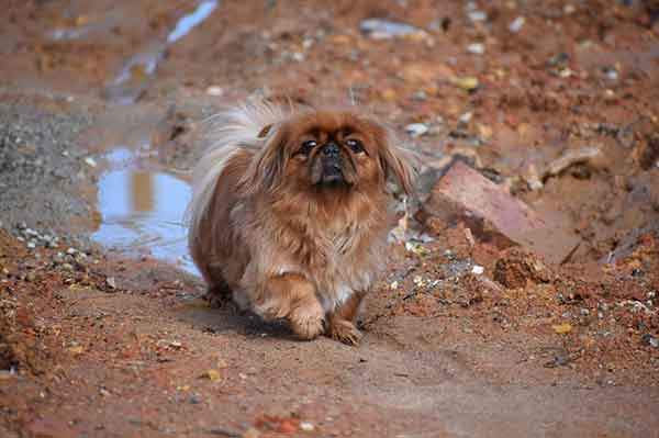cane pechinese che cammina di fronte