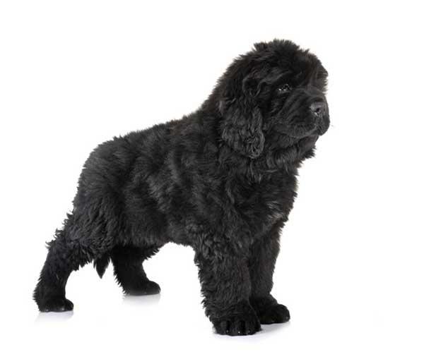 cane nero cucciolo in piedi