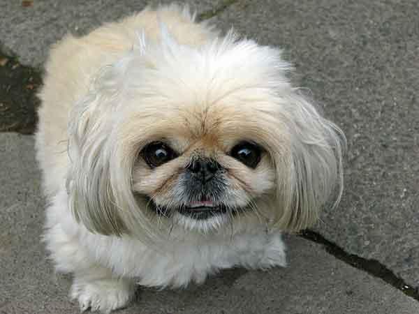 cane pechinese bianco