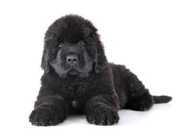cane terranova nero cucciolo