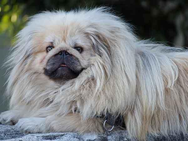 cane pechinese pelo folto