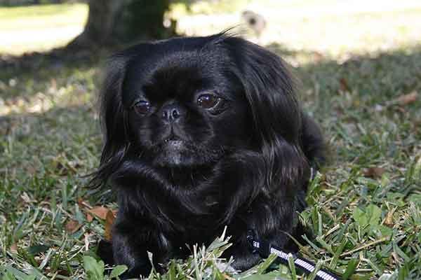 cane pechinese nero