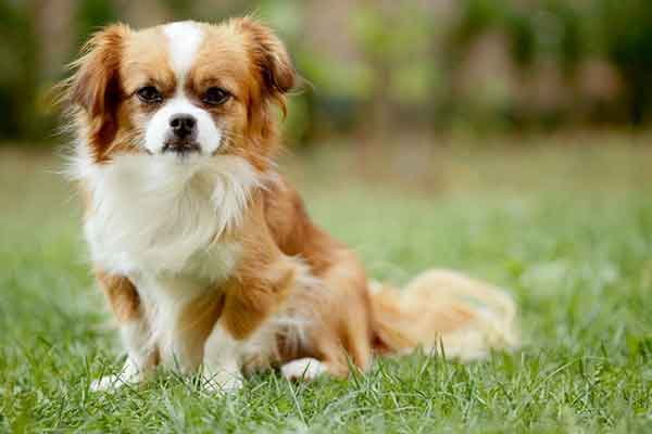 cane pechinese bicolore