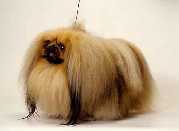 cane pechinese pelo lungo