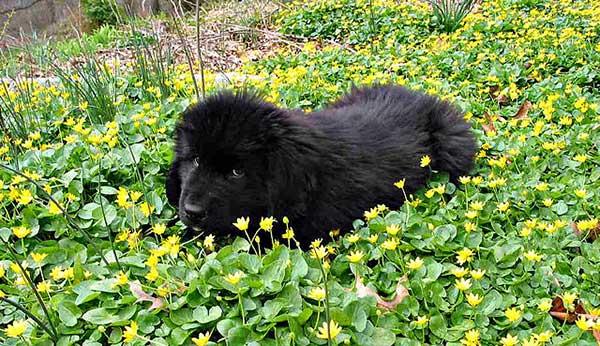 cane terranova cucciolo sul prato