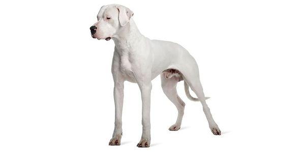 Razza Dogo argentino