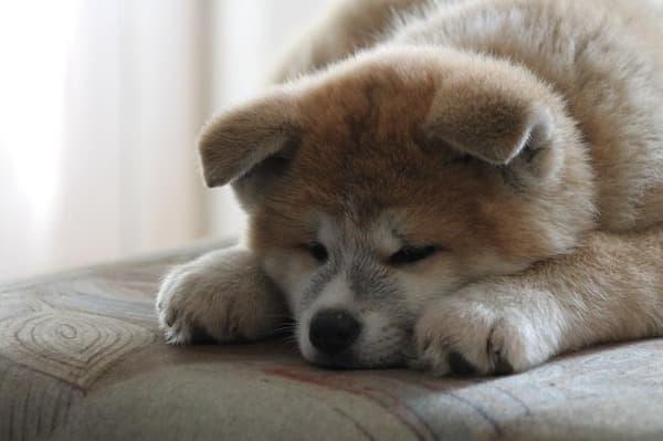 Akita Inu cucciolo sul letto