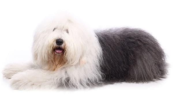 Ancestral English Sheepdog