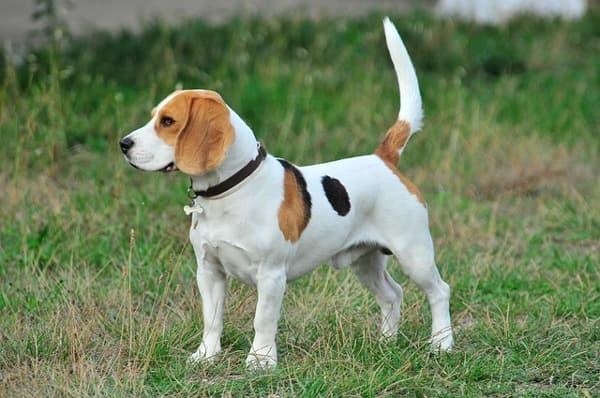 Beagle figura intera