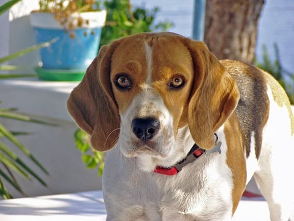 Beagle primo piano muso
