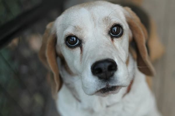 Beagle sguardo